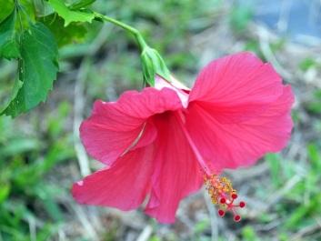 Hibiscus rosa-sinensis L. 'China rose'