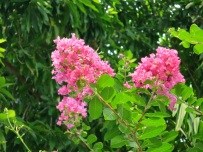 Lagerstroemia indica 'Rose Pink Flower'