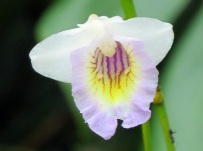 Arundina species (Dwarf) 'Mini Bamboo Orchid'