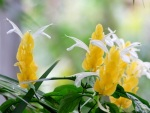Pachystachys lutea 'Lollipop Plant'