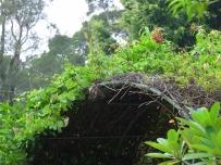 Quisqualis indica 'Rangoon Creeper'