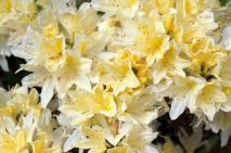 Rhododendron 'Chiffchaff'