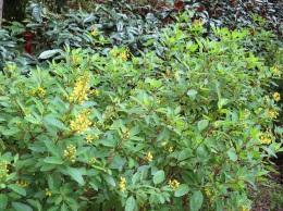 Thryallis gracilis 'Rain of Gold'