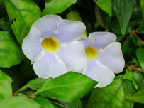 Thunbergia erecta 'Bush Clock Vine', 'King's Mantle'