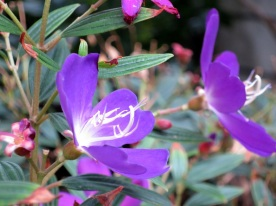 Tibouchina semidecandra 'Princess Flower'