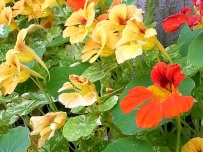Tropaeolum majus 'Indian cress'