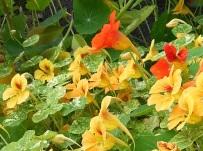 Tropaeolum majus 'Indian cress'