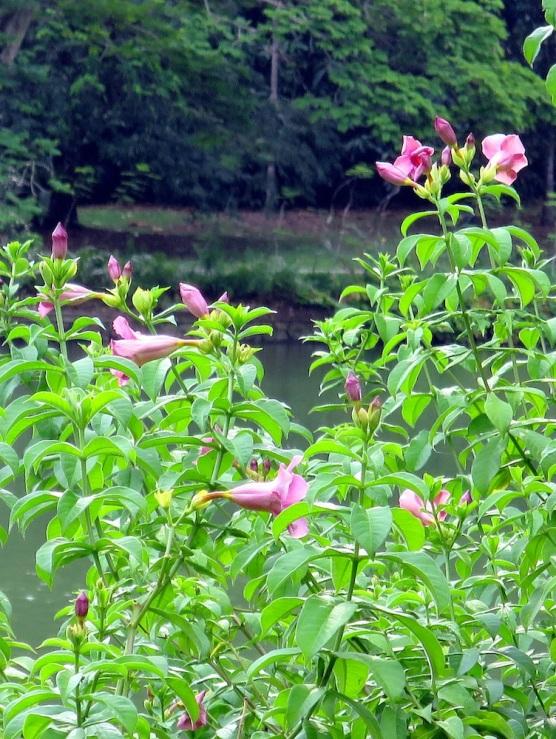 Allamanda blanchetii 'Purple Allamanda'
