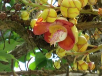 Couroupita guianensis 'Cannonball Tree'