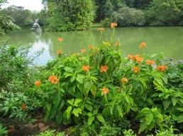 Crossandra infundibuliformis 'Firecracker Flower'
