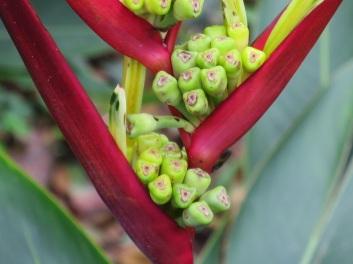 Heliconia psittacorum 'Black Cherry'