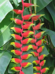 Heliconia rostrata 'False Bird of Paradise'