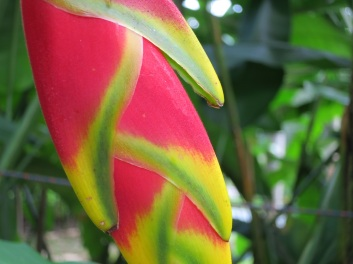 Heliconia rostrata 'False Bird of Paradise'