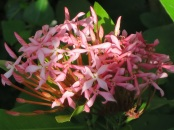 Ixora (Light Pink)