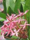 Ixora (Light Pink)