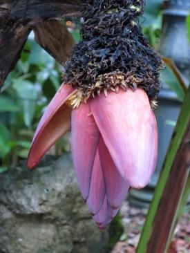 Musa sp. 'Dwarf Banana'