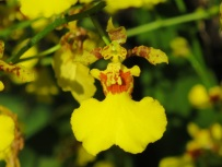 Oncidium goldiana 'Golden Showers'