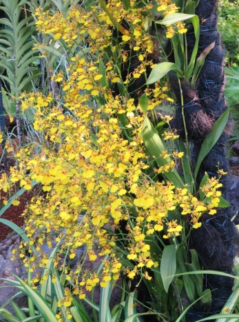 Oncidium goldiana 'Golden Showers'