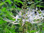 Orthosiphon aristatus 'Cat's Whiskers'