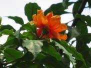 Pereskia bleo 'Rose Cactus'