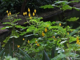 Senna alata 'Candle Bush'