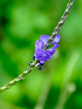 Stachytarpheta indica 'Blue Porter Weed'