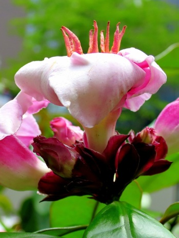 Strophanthus gratus 'Climbing Oleander'