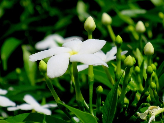 Tabernaemontana divaricata 'Ceylon Jasmine'