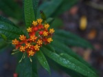 Aseclepias curassavica L. 'Mexican butterfly weed'