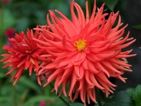 Dahlia 'Karma Red Corona'