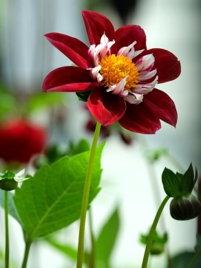 Dahlia 'Night Butterfly'