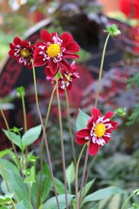 Dahlia 'Night Butterfly'