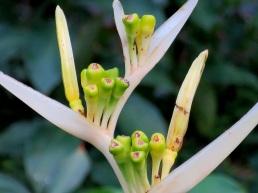 Heliconia psittacorum 'Strawberries and Cream'