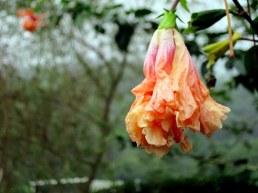 Hibiscus schizopetalus 'Pagoda' (Orange)