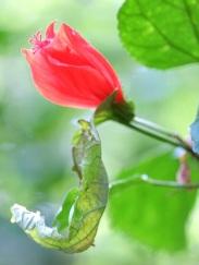 Malvaviscus arboreus var. penduliflorus 'Sleeping Hibiscus'