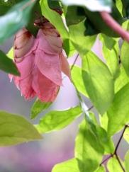 Maniltoa lenticellata 'Pink Maniltoa'