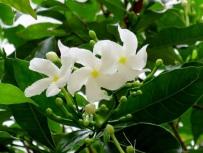 Tabernaemontana corymbosa 'Great Rosebay'