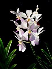 Aranda Prapin 'Beauty'