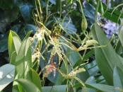 Caladenia 'Spider Orchid'