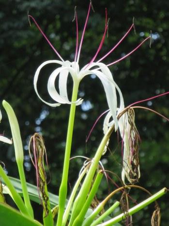 Crinum asiaticum 'Crinum Lily'