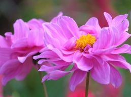 Dahlia 'Pink Onesta'