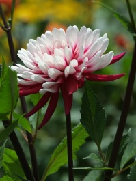 Dahlia 'Red and White'