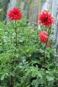 Dahlia 'Red'