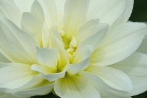 Dahlia 'White Onesta'