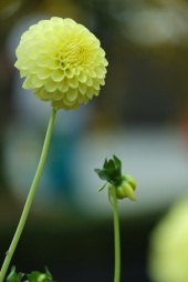 Dahlia 'Yellow Ball'