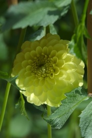 Dahlia 'Yellow Ball'