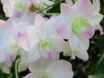 Dendrobium 'Peach Blossom'
