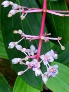 Medinilla formosana