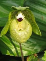 Paphiopedilum malipoense 'Jade Slipper Orchid'
