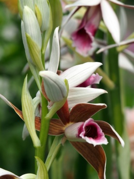 Phaius tankervilleae 'Lady Tankerville's Swamp Orchid'